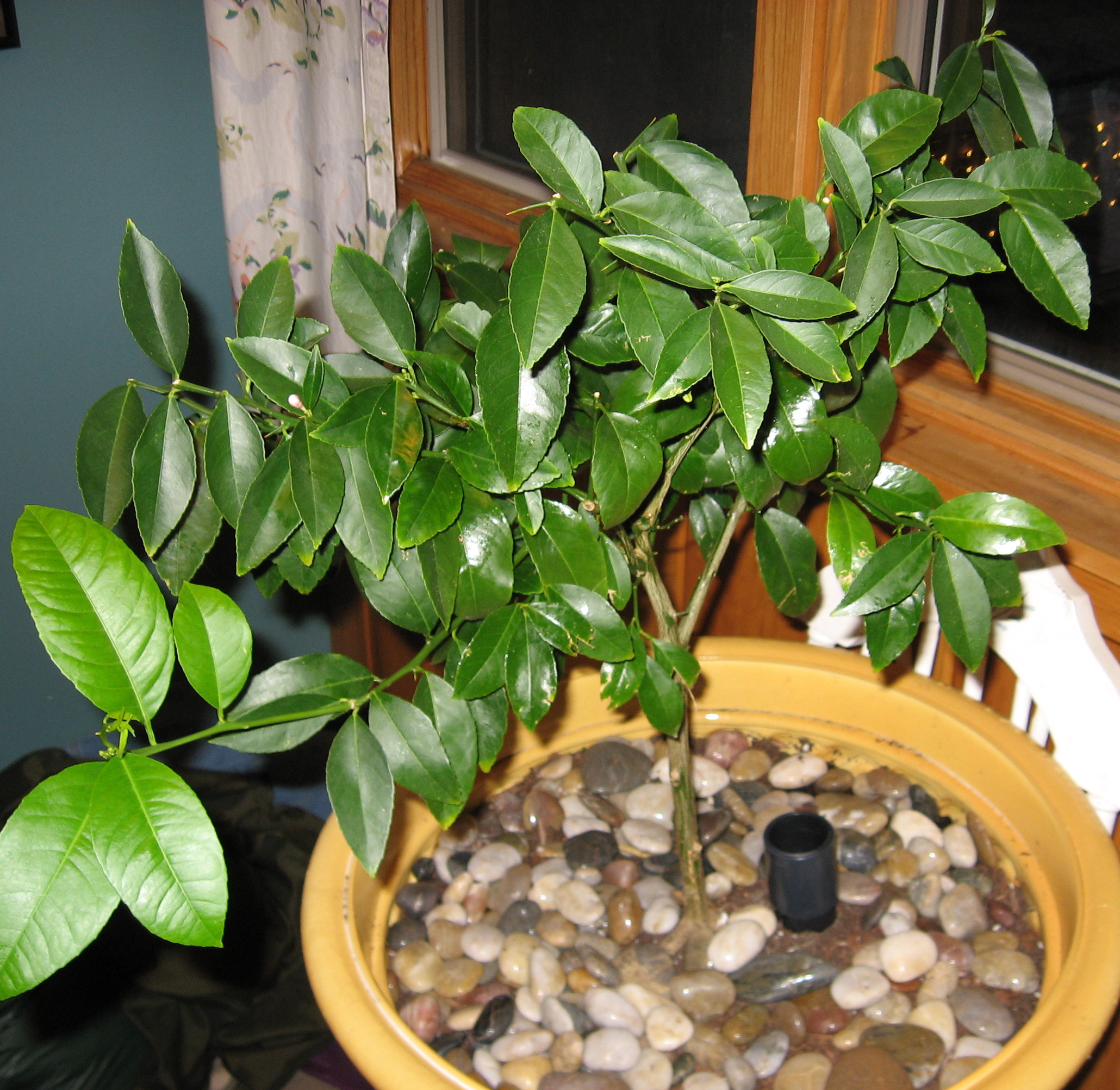 last spring i purchased a meyer lemon tree iu0027ve had one before which succumbed to neglect at the hands of my housesitter while i was off