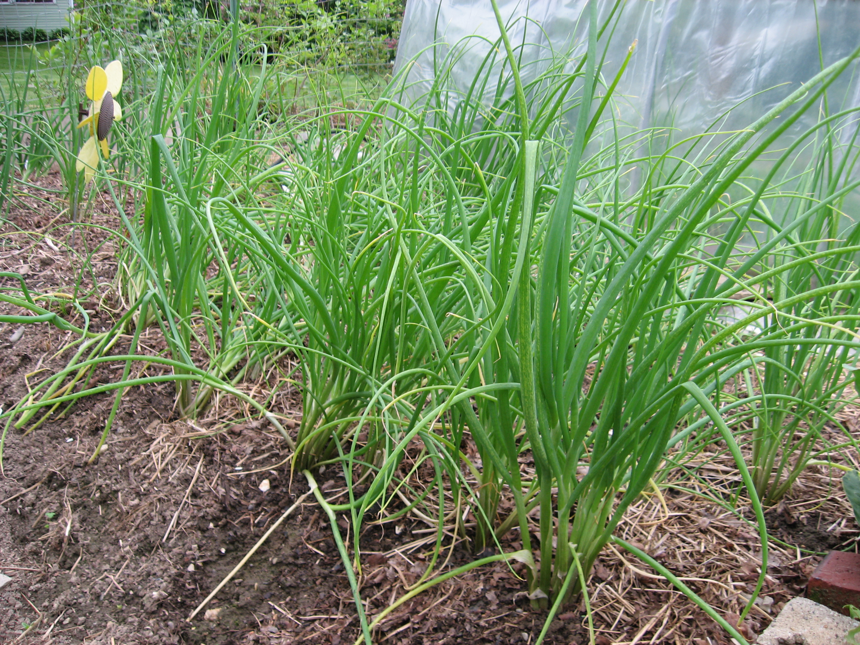 Ali of Shallot: Growing French gray shallots | Henbogle